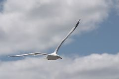Seagull in Flight. A Seagull flying royalty free stock photography