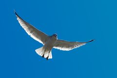 Seagull in flight. A Seagull Flying in Blue Sky with Wings Fully Stretched stock photos