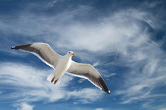 Seagull in Flight. A seagull flying in a beautiful dramatic sky Stock Photos