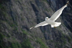 A seagull in flight. Royalty Free Stock Image