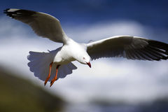 Seagull in flight. A beautiful Seagull in flight Stock Photography