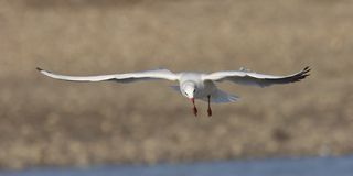 Seagull in flight 2. A black-headed seagull in flight, with stretched wings Stock Photography