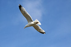 Seagull in flight. White gull with wings outstretched in flight on a blue sky Royalty Free Stock Photos