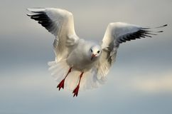 Seagull in flight. A sea gull in flight Stock Photography