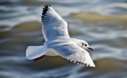 Seagull in flight Stock Photography