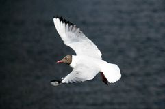 The seagull in flight Stock Image