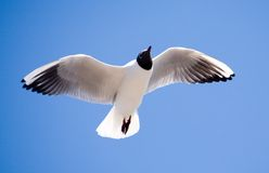 The seagull in flight. On a background of the sky Royalty Free Stock Photo