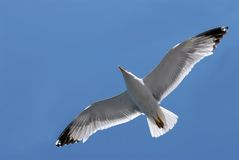 Seagull in flight. On background blue sky Royalty Free Stock Photography