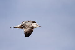 Seagull flight Stock Photo