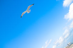 Seagull in flight. A picture of a seagull with its wings spread out in flight royalty free stock image
