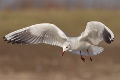Seagull in flight 3. A black-headed seagull in flight, with stretched wings stock photos