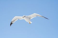 Seagull on a flight Royalty Free Stock Photography