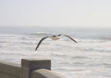 Seagull in Flight. A seagull skims above a concreet wall near a stormy coastline stock image