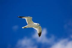 Seagull in flight. Seagull in the sky Royalty Free Stock Photo