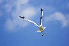 Seagull in flight. In blue sky Royalty Free Stock Photography