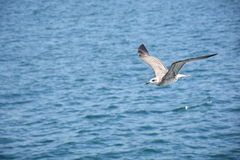 Seagull in Flight Above the Ocean Stock Images