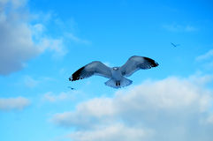 Seagull. In flight against a blue sky Royalty Free Stock Photos