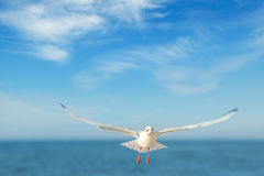 Seagull in flight against the blue sky. A seagull in flight against the blue sky Royalty Free Stock Photo