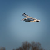 Seagull in flight against a blue sky. Beautiful seagull in flight against a blue sky Royalty Free Stock Images