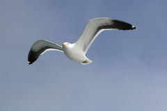 Seagull in flight against blue sky. Seagull (Larus atlanticus) in flight against blue sky  off the coast of Swartkopmund, Namibia Royalty Free Stock Photography