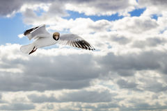 Seagull in flight against cloudy sky Stock Image