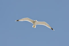 Seagull in flight against the sky Stock Photo