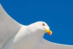 Seagull in flight on a beautiful day Stock Photos