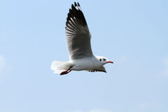 Seagull in flight. A bird in flight . Feathers backlit by afternoon sun Royalty Free Stock Photography