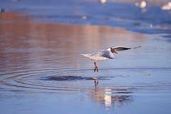 Seagull flight stock photography
