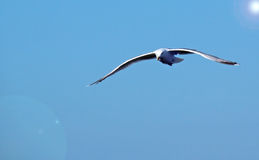 A seagull in flight on a blue sky. Stock Photography