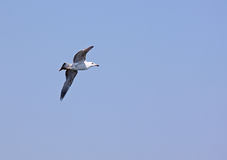 Seagull at flight Stock Photography