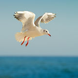 Seagull in flight  and blue sky. Seagull in flight against the blue sky Royalty Free Stock Photography