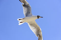 Seagull in flight Stock Photo
