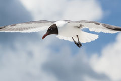 Seagull in flight Stock Images
