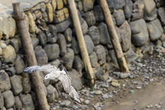 Seagull in flight  at Clovelly harbour, Devon Stock Photography