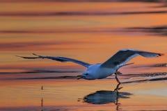 Seagull in flight in Danube Delta. Romania stock image