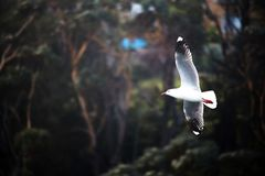 Seagull in Flight Dark BG. Seagull in flight in front of blurred dark green trees background Stock Images