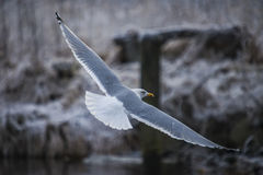 Seagull in flight (disambiguation) Stock Image