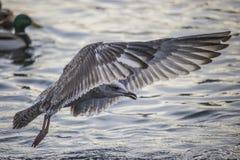Seagull in flight (disambiguation) Stock Image