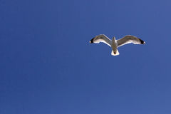 Seagull in flight. Seagull fight against blue sky Royalty Free Stock Image