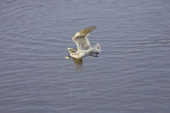 A Seagull in flight with a fish. A Seagull in flight across a pond with a fish in his beak Royalty Free Stock Photos