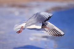 Seagull in flight royalty free stock photography