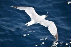 Seagull in flight Stock Photos
