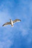Seagull Flight Stock Photos