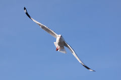 Seagull in flight. Seagull flying in the blue sky Stock Images