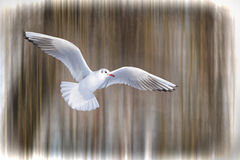 Seagull in flight. A gull on a suny day Royalty Free Stock Photography