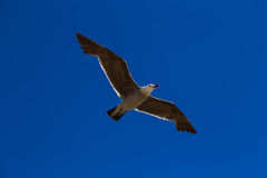 Seagull in flight Royalty Free Stock Image