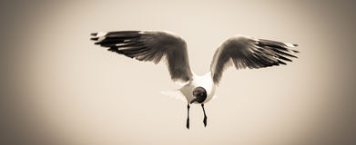 Seagull in flight. Royalty Free Stock Images