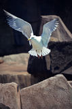 Seagull in Flight. A seagull in flight at the Milwaukee County Zoo in Milwaukee, Wisconsin Royalty Free Stock Photo