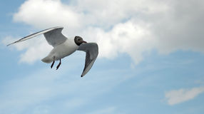 Seagull In Flight o Royalty Free Stock Photos